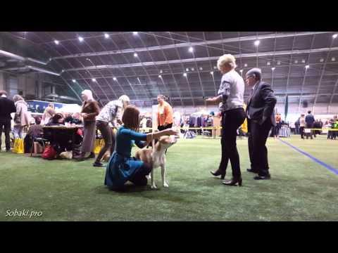 Американский стаффордширский терьер. Выставка собак