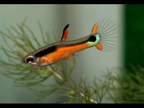 Гуппи Эндлера /Guppy Picture Shows