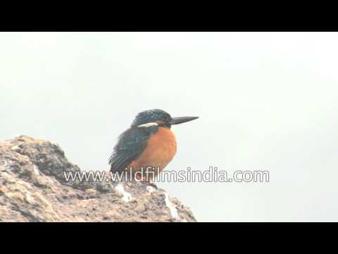 Common, Eurasian or European Kingfisher in India