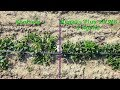 Plantacje truskawek bez rozłogów. To jest możliwe!