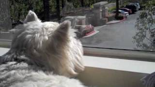 The Day Of A Cute Westie
