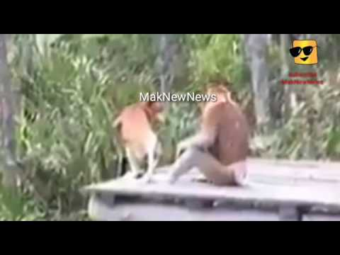 Ngintip Monyet kawin, Goyangannya despacito Mantab...