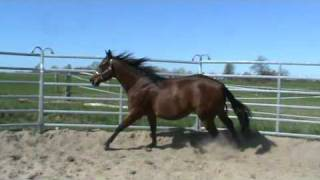 Roodie Rooster 2 j. Quarter Horse Wallach thumbnail