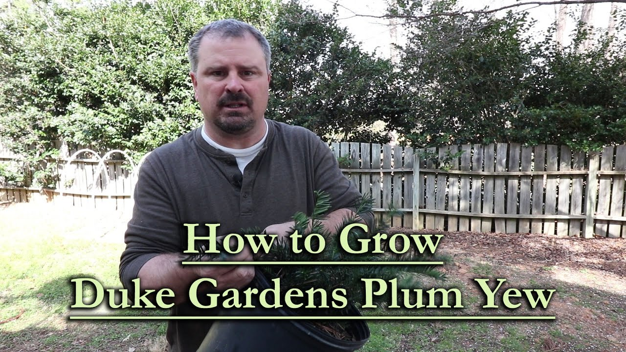 How To Grow Duke Gardens Japanese Plum Yew Slow Growing Compact