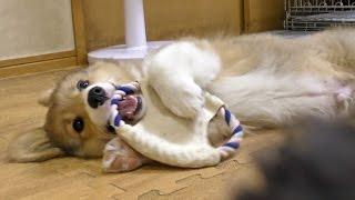 Roku Plays Toy / オモチャをカミカミするロクさん 20150726 Welsh Corgi Puppy Kitten 子犬 子猫 Dog Cat Cute
