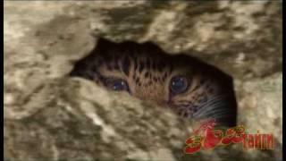 Дальневосточный леопард Amur  Leopard.