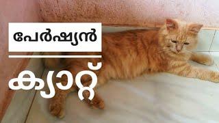 Persian 🐈 cat    പേർഷ്യൻ പൂച്ച യെ കുറിച്ച് അറിയാം..