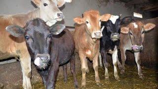 Содержание коров в хозяйстве Баходура Мирзоева и Рахмона Рузиева.