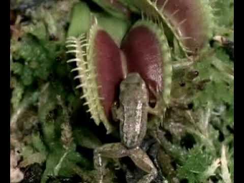 מלכודת פעילה Steel Trap צמחים טורפים - דיונאה Dionaea muscipula