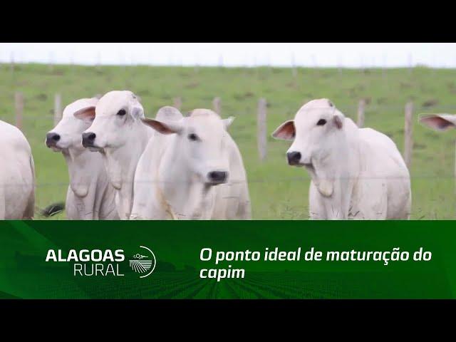 Saiba como identificar se o capim está no ponto ideal de maturação para o gado