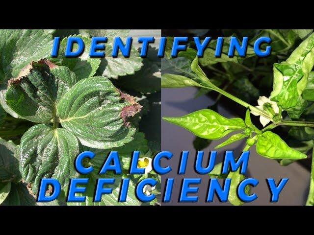 Lesson 4: How to Identify Calcium Deficiency in Crops