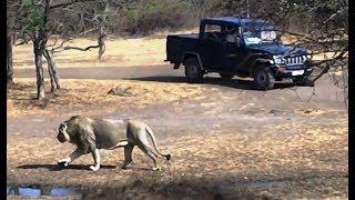 जब एक कार शेर के पास आई, फिर क्या हुवा When a car came near Lion, what happened then