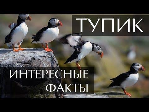 Птица Тупик интересные факты