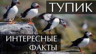 Птица Тупик - интересные факты