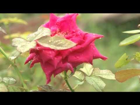 Download Banglar Krishi Episode no 1418 Golap Ful Cas Gajipur 03 January 2021