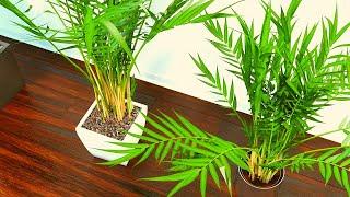How to care Areca Palm Urdu/Hindi