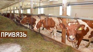ПРИВЯЗНОЕ СОДЕРЖАНИЕ молочных коров.  КФХ Овсянникова