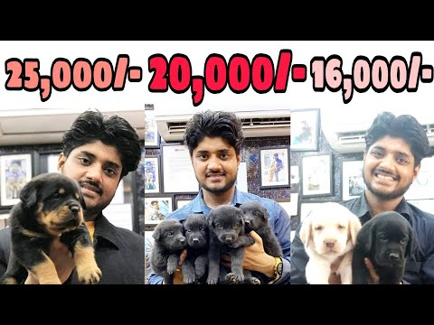 Range Of Puppies In This Navratri 2020 | All breeds are available at SDK | Contact - 7905203357
