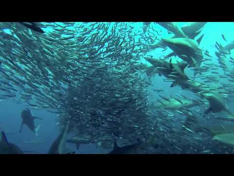 Sardine Run Port St Johns South Africa
