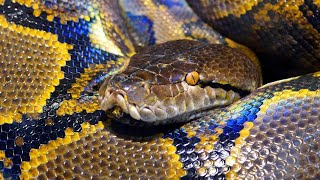 Indiana Woman Strangled by Python