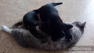 Котята наяривают маму- кошку I Смешные котята