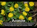 What is Aconite? | How Does Aconite Look? | How to Say Aconite in English?