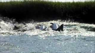 Wildlife!!!  Dolphins Strandfeeding near Folly Beach, Charleston