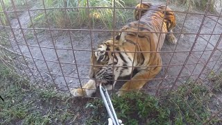 TIGER ROARS AFTER TREAT!!