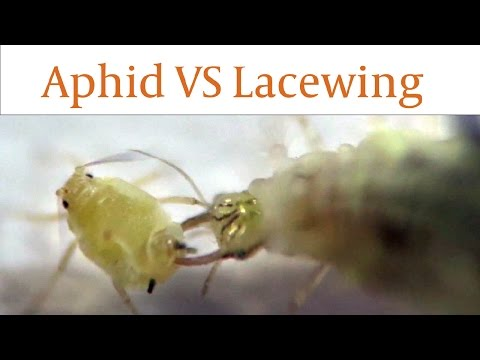 Lacewing Larvae Devours Aphids Alive in Real Time
