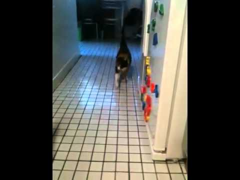 Millie the cat playin fetch