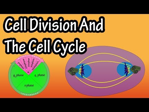 How Do Cells Divide - Phases Of Mitosis - What Is Cell Division - The Cell Cycle - Cellular Division