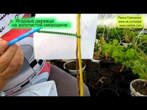 Смородина золотистая Описание, выращивание, уход Фото