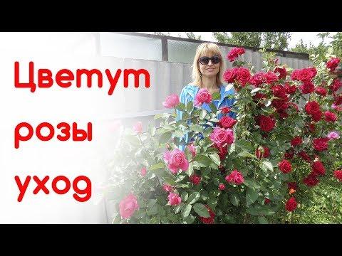 Плетистые розы Посадочный материал декоративных растений