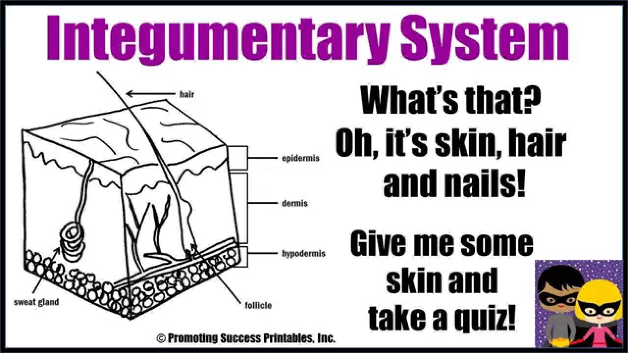 Integumentary System Function Human Body Skin Hair Nails Anatomy ...