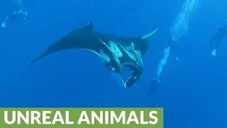 Giant Manta Rays of Socorro Island glide near divers