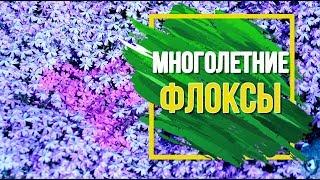 Флоксы – многолетние цветы в саду 🌺 Посадка и уход 🌺 Популярные сорта флоксов