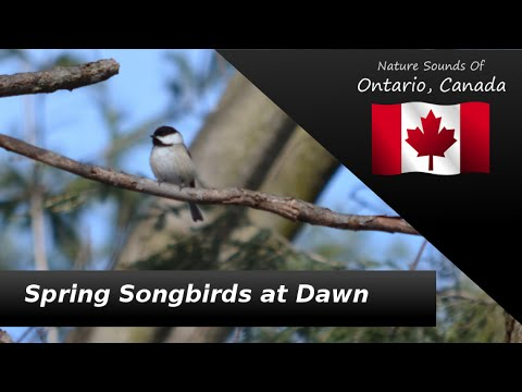 Nature Sounds - Relaxation, Binaural - Spring Songbirds at Dawn