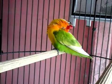 love bird leher patah...