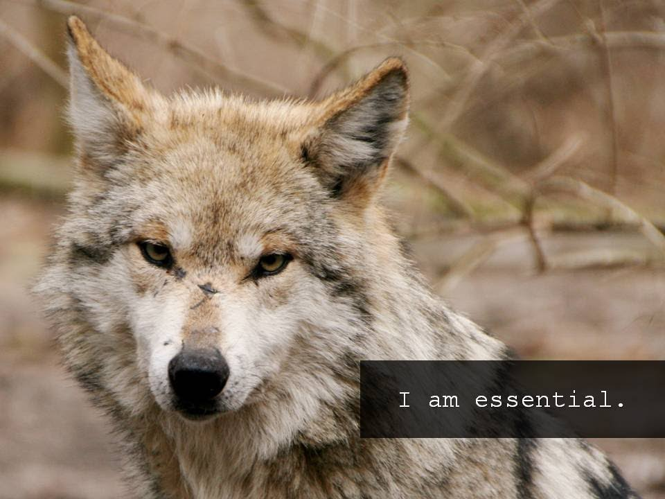 Mexican Gray Wolves: They're Essential