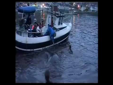 FAROE ISLANDS slaughter of PILOT WHALES