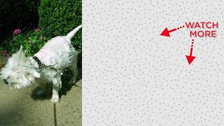 Golden Retriever Dog Always Interrupts Mom's Workouts | The Dodo