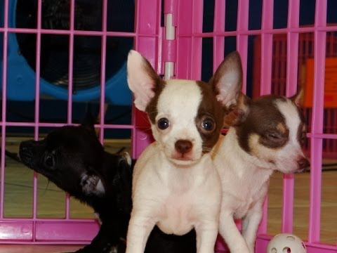 Chihuahua Puppies Dogs For Sale In Nashville Tennessee Tn