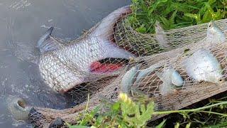 Cùng Cha Vợ Đi Chài Cá Hô Làm Lẩu Cúng Mừng Một Tết.Minh Bẫy Rắn#201