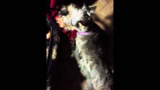 """Monty, Our Miniature Schnauzer, Puts """"big Bone"""" Toy To Bed As His Bedtime Ritual Every Night!"""