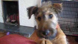 Rufus The Irish Terrier Playing