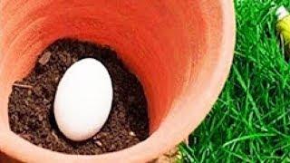 Vergrabe ein Ei im Boden deines Gartens - Was ein paar Tage später passiert wird dich überraschen!