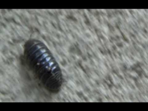 Following a Potato Bug (Armadillidium vulgare)
