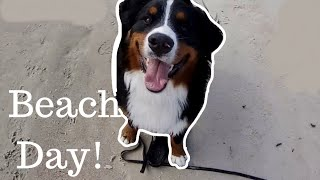 Bernese Mountain Dog Visits The Ocean