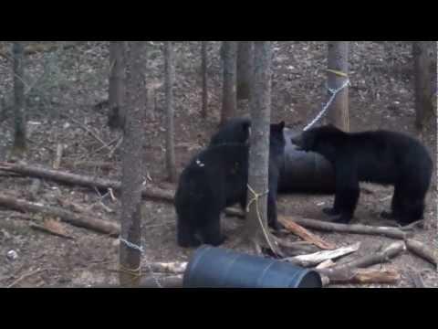 Black Bear Hunt With Death Moan Spring 2012