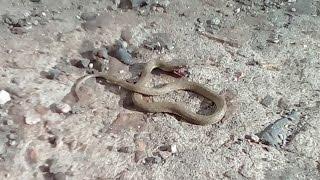 Кошка ест змею.